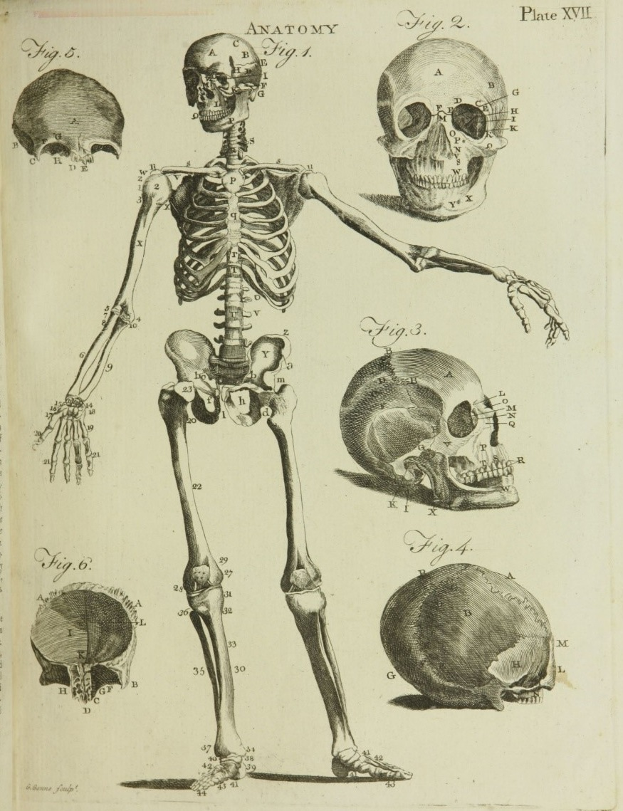 Anatomical illustration of human skeleton and views of skulls, 1790