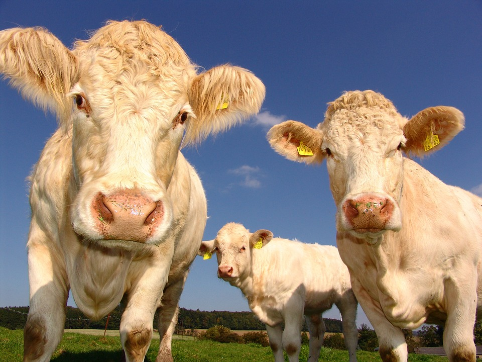 Photograph of two white cows