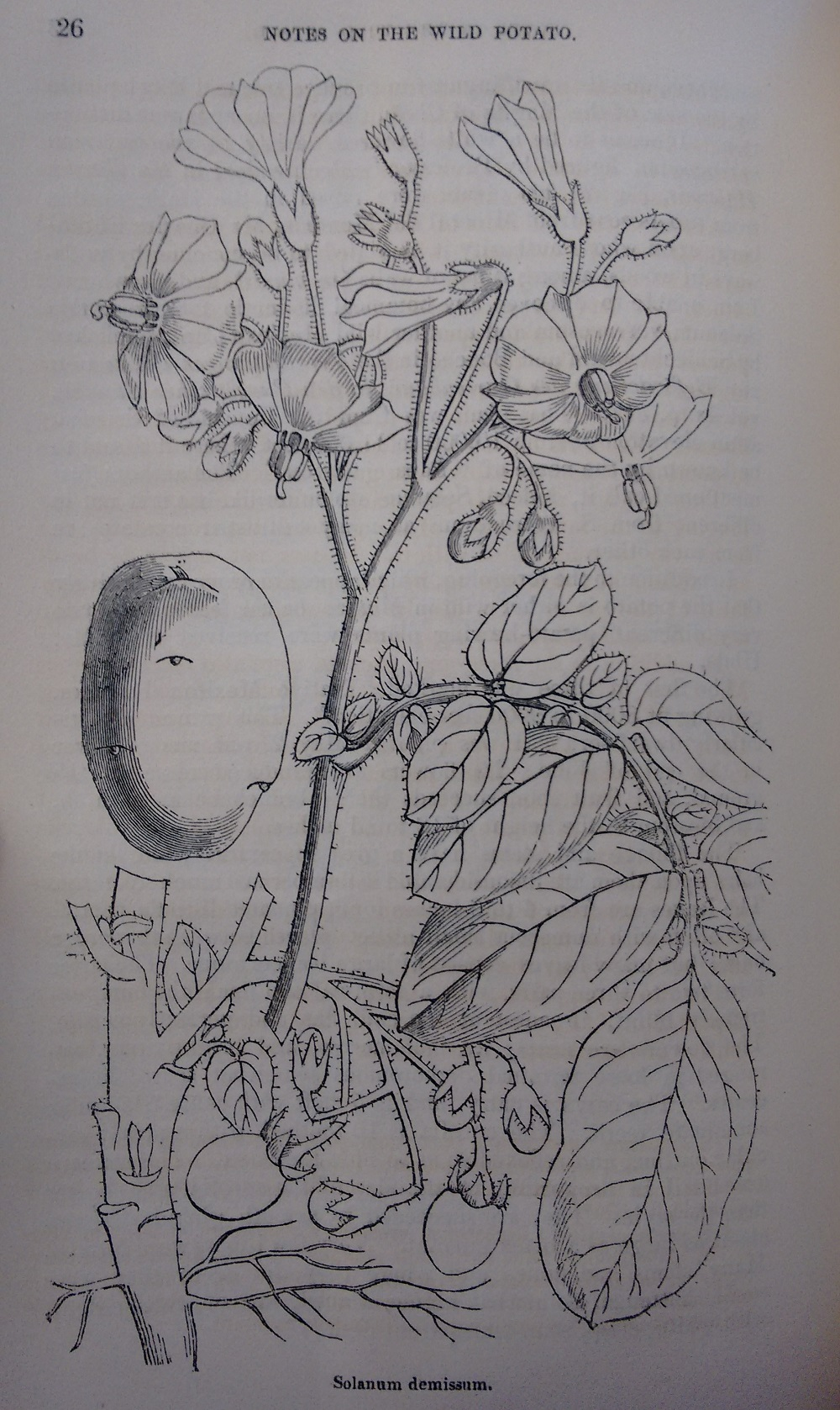 Line drawing of a wild potaot plant, 19th century